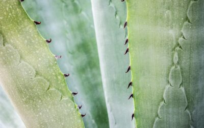 El Aloe Vera: vital para las pieles delicadas y sensibles
